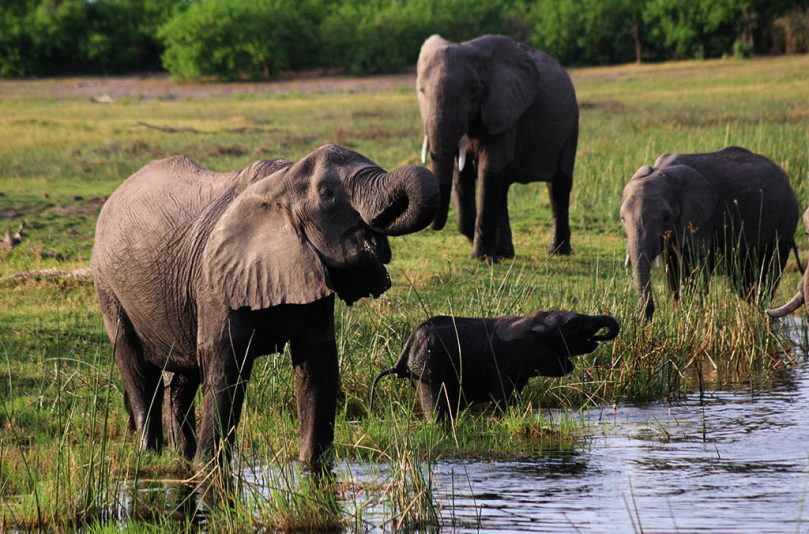 Elephant poaching drops fifth straight year as China closes ivory market
