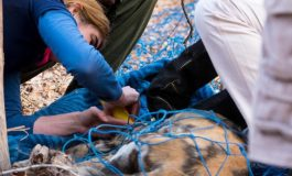 Wilderness Wildlife Trust supports translocated wild dogs in Mana Pools