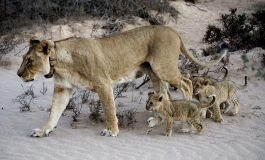 Wilderness Wildlife Trust combats human-lion conflict in north-west Namibia